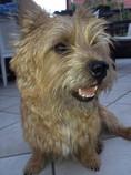 Norwich-Terrier, Höhne, Planetal/ OT Dahnsdorf