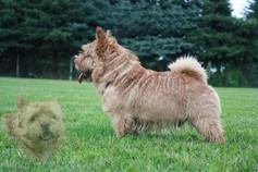 Norwich-Terrier, Höhne, Dahnsdorf/OT Planetal