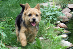 Norwich-Terrier, Höhne, Planetal/OT Dahnsdorf